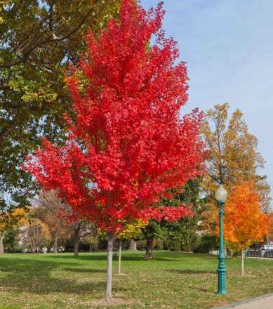 Red maple tree in autumn (Acer rubrum) – USA