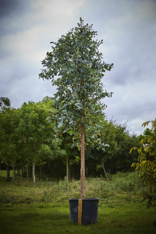 Eucalyptus Coccifera_K7A9978