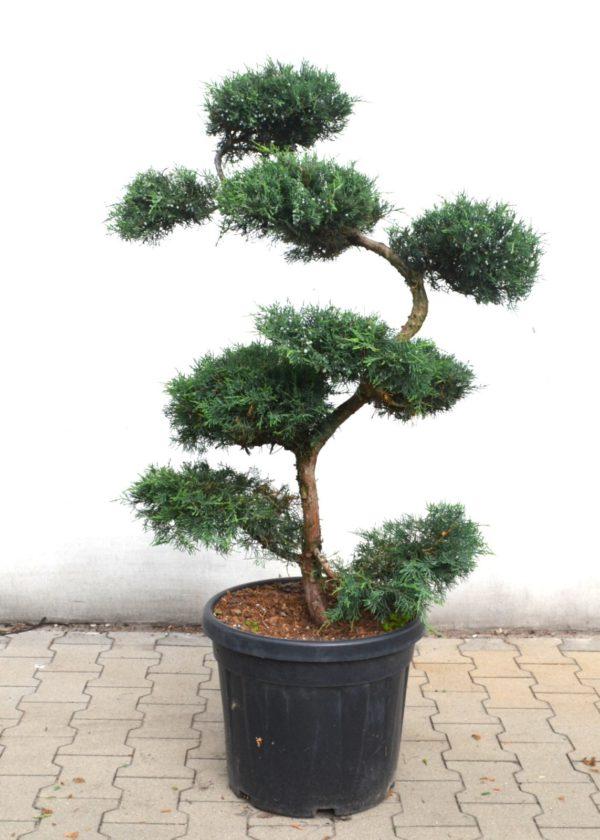 Juniper Grey Owl bonsai