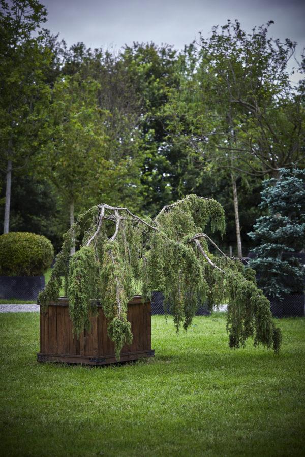 Juniperus x media 'Pfitzeriana Horstmann'_K7A9552
