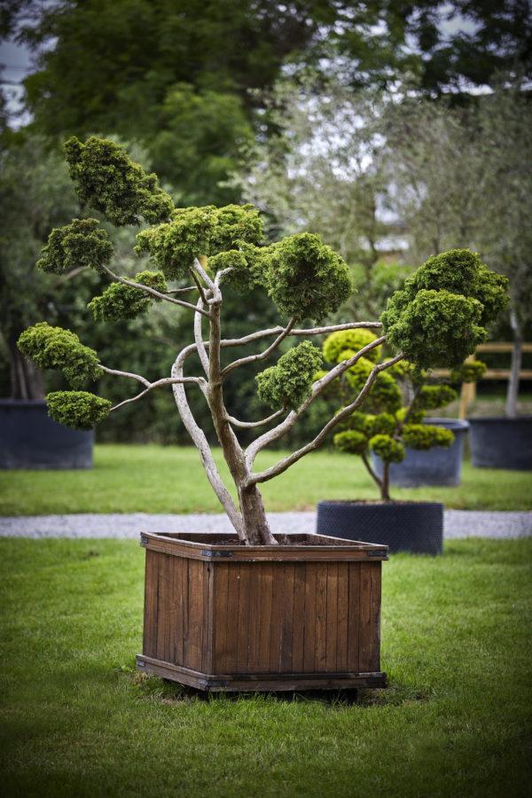 Juniperus x media 'pfitzerian'_K7A9449
