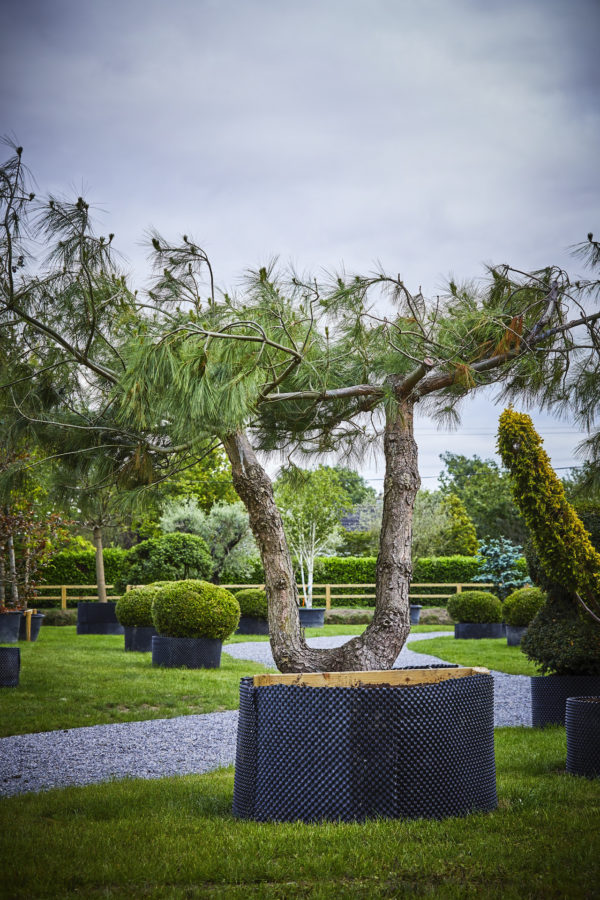 Pinus Wallichiana_K7A9893