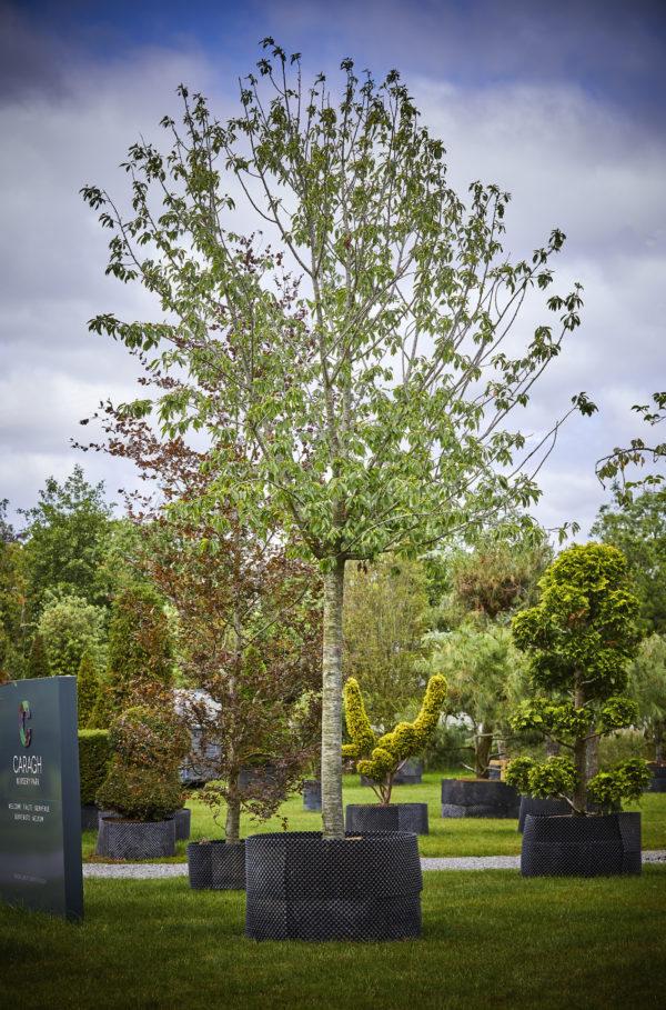 Prunus Avium_K7A0145