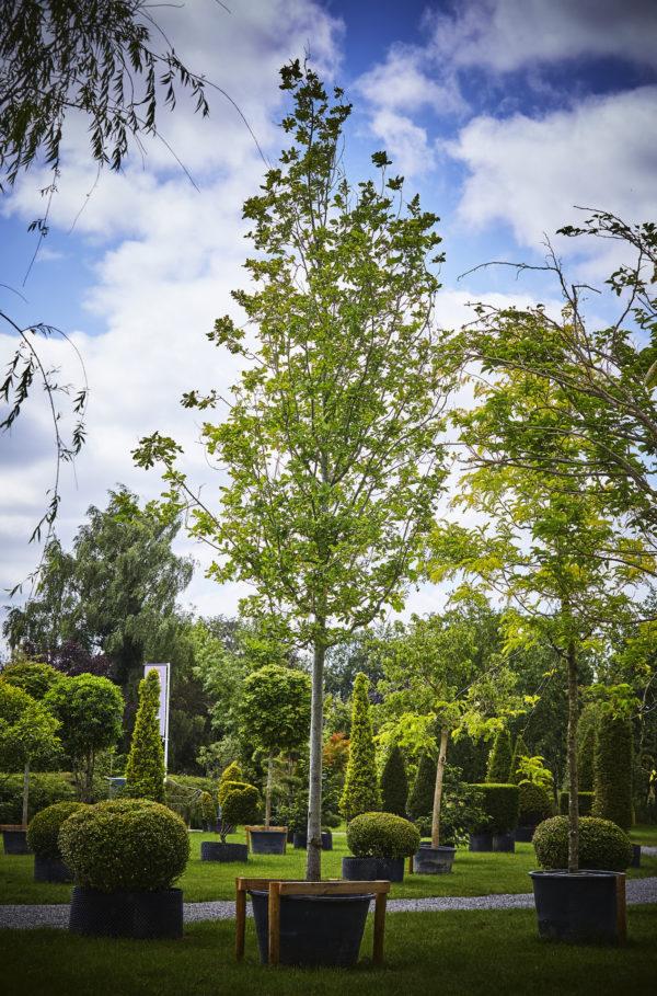 Quercus Robur_K7A0286