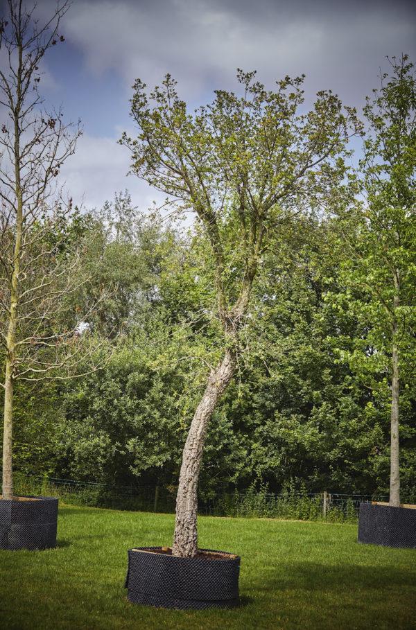 Quercus Suber_K7A0320