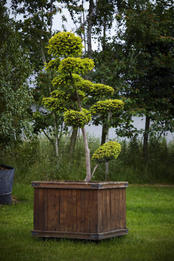 Taxus Baccata 'semperaurea'_K7A9616
