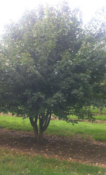 Acer campestre multistem