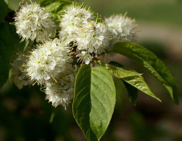 Prunus Maackii flower