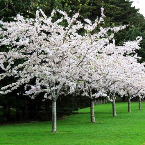 Prunus Yedonensis