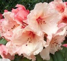 Rhododendron Virginia Richards