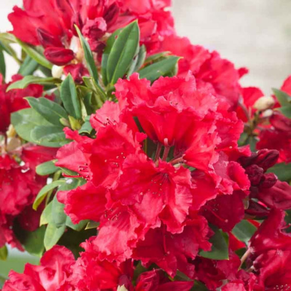 rhododendron-_red-jack