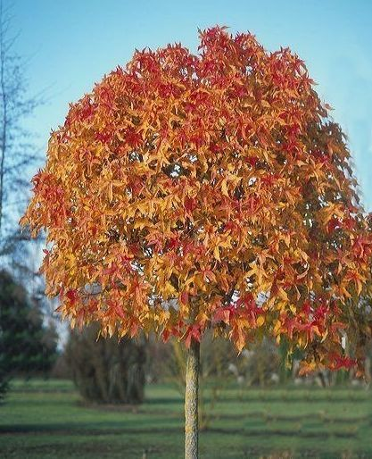 Liquidamber Gumball Autumn Colour