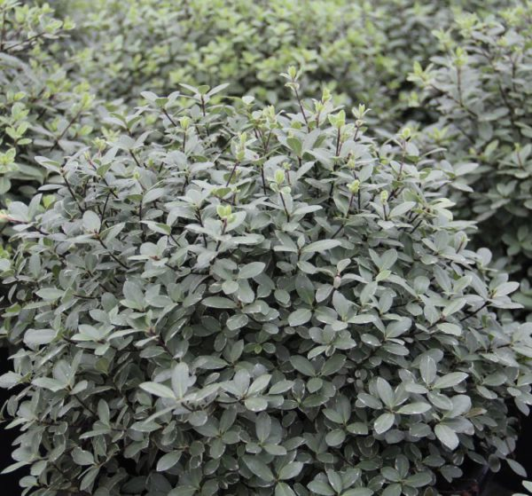 Pittosporum Silver Ball