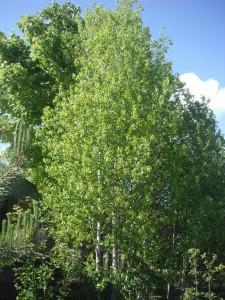 Populus termula