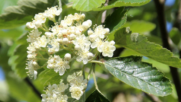 Sorbus Intermedia Browers