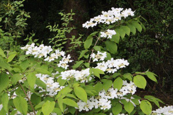 Viburnum Marieseii