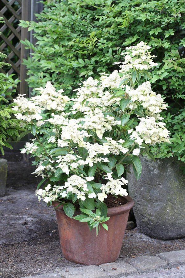 Hydrangea Prim White
