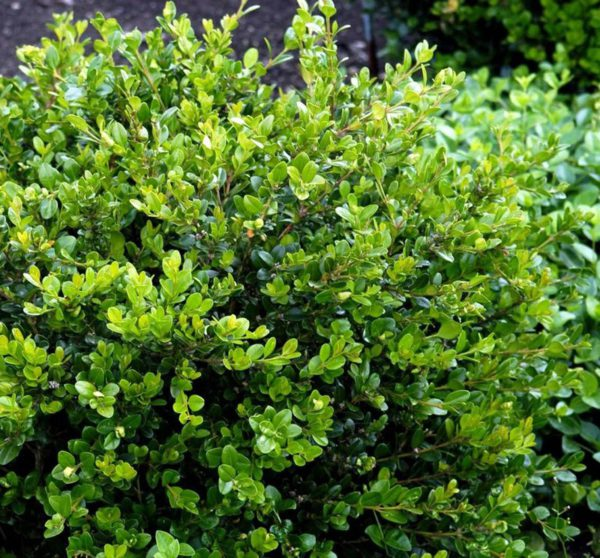 buxus-microphylla-faulkner