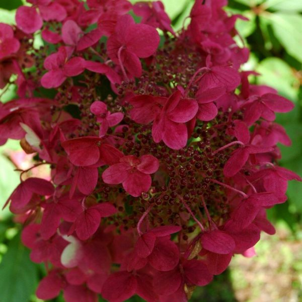 Hydrangea Wims Red