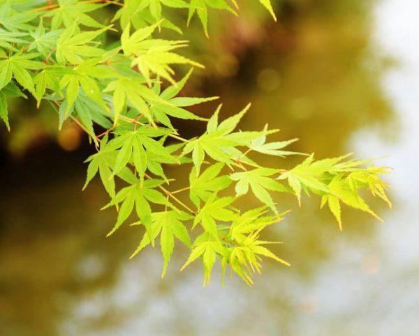 Acer Palm Aoyagi