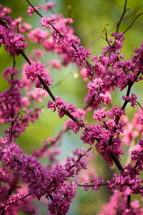 Cercis canadensis, Forest pansy, Abundant small pink flowers on a branch.