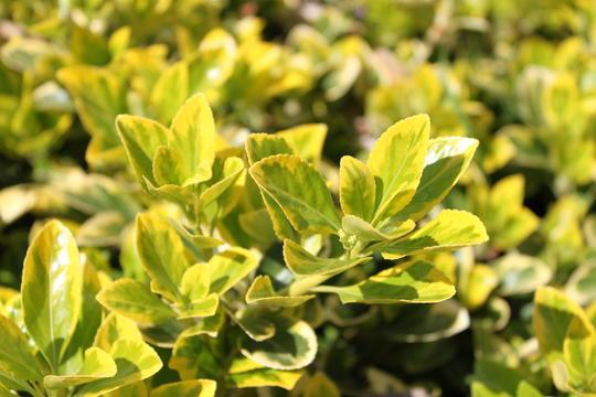 Euonymous Aureomarginatus