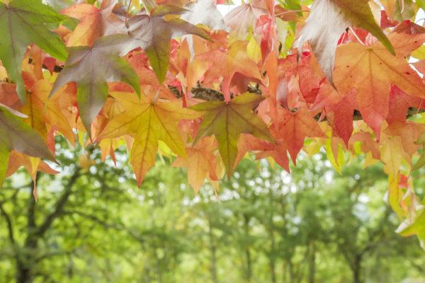 Liquidambar autumnal foliage