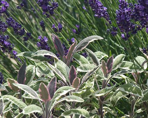Salvia tricolour