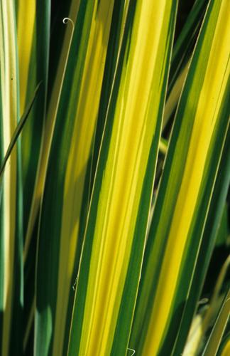 Yucca Golden Sword