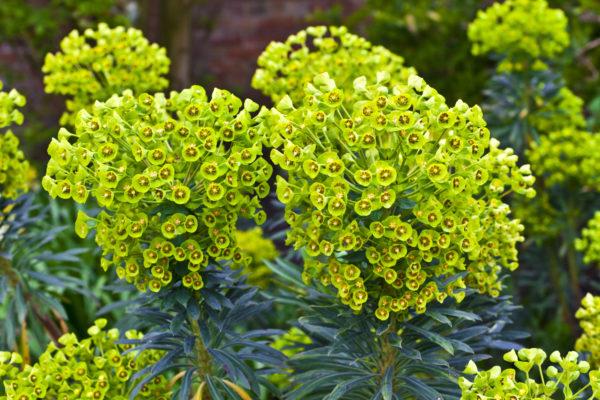 Euphorbia amyg.