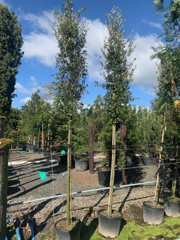 Evergreen Oak 14-16cm