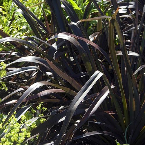 Phormium Platts Black