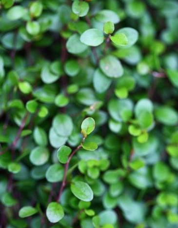 muhlenbeckia axilaris