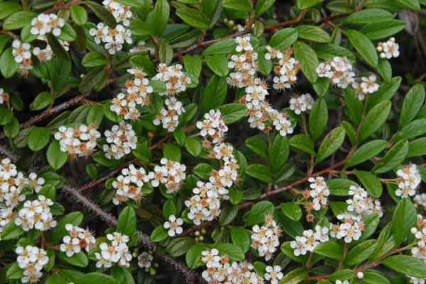Cotoneaster damerri
