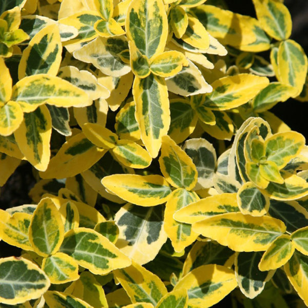 Euonymus fort. 'Emerald 'n' Gold