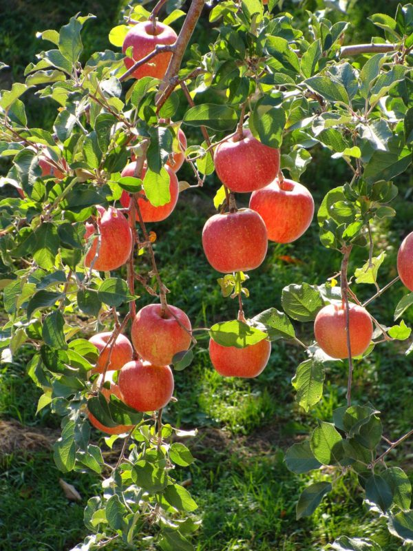 Malus Domestica / Fruiting Apple