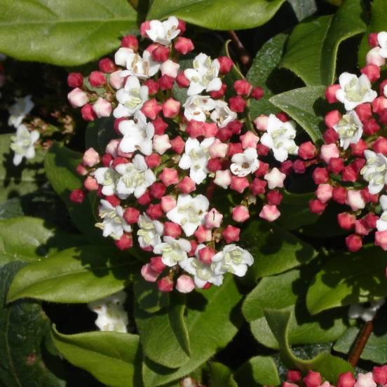 Viburnum Quimper