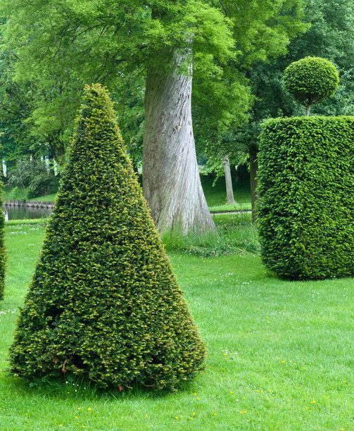 Clipped yew Cones