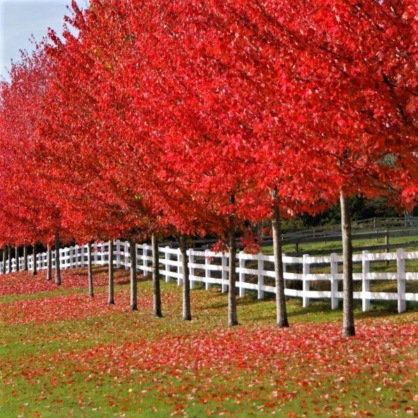 Acer Freemannii Autumn Blaze