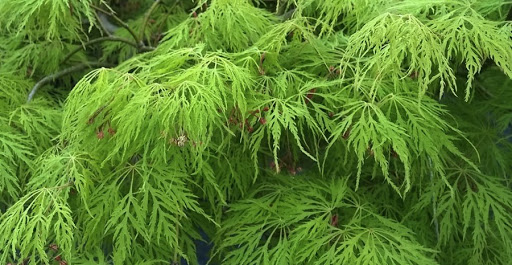 Acer Greenlace