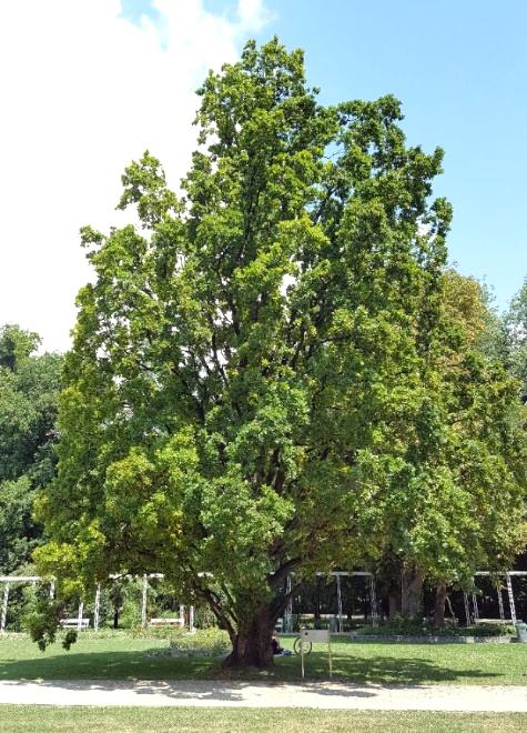 Quercus Robur Pyramidalis