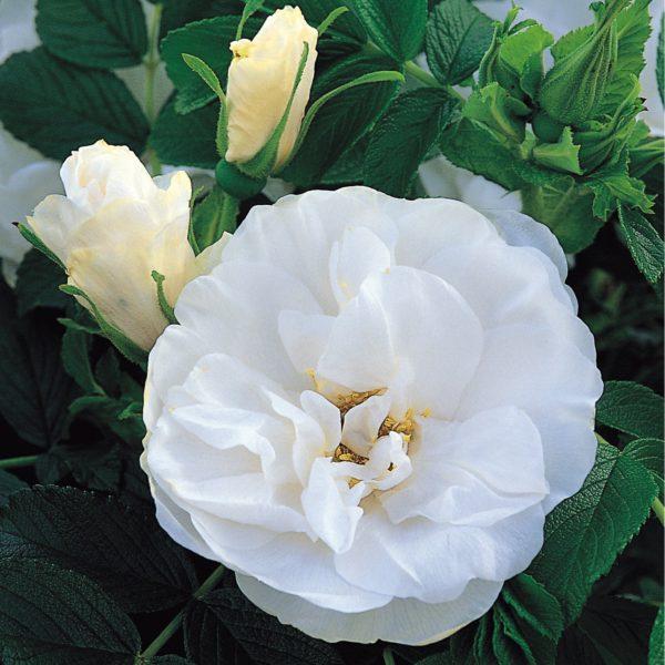 Rosa 'Blanc Double de Coubert