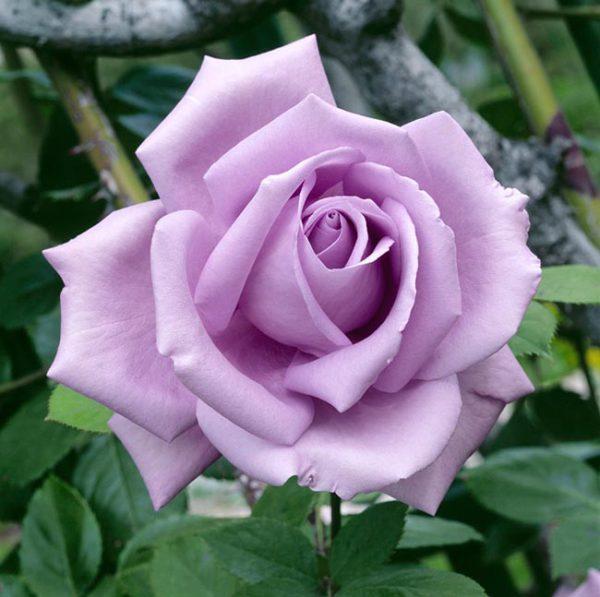 Rosa 'Blue Moon'