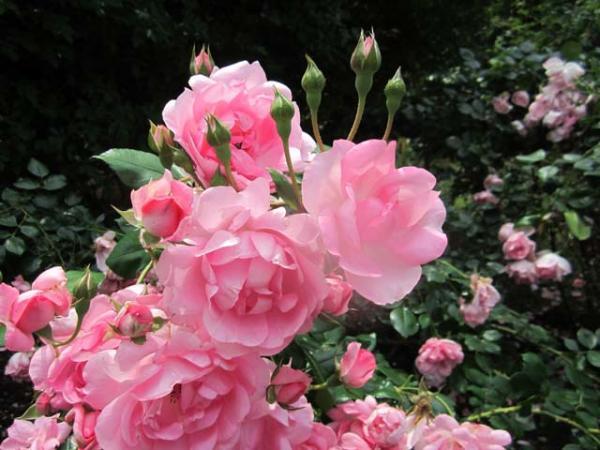 Rosa Centenaire De Lourdes