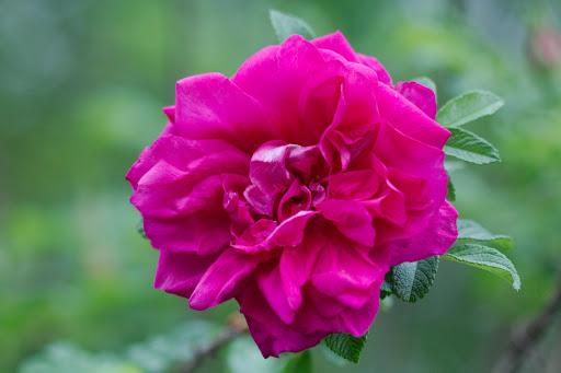 Rosa Rosaeraie de L'Hay