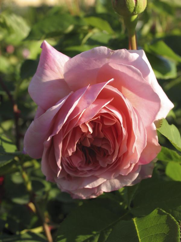 Rosa William Morris