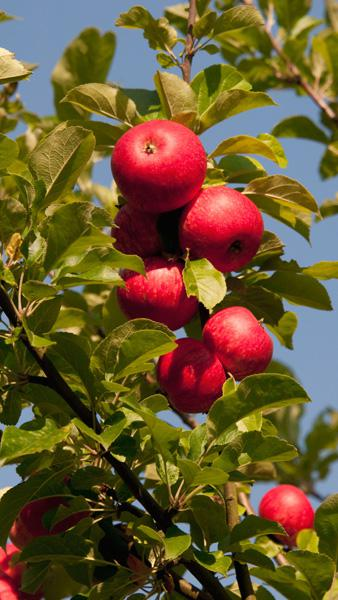 malus-domestica-beauty-of-bath