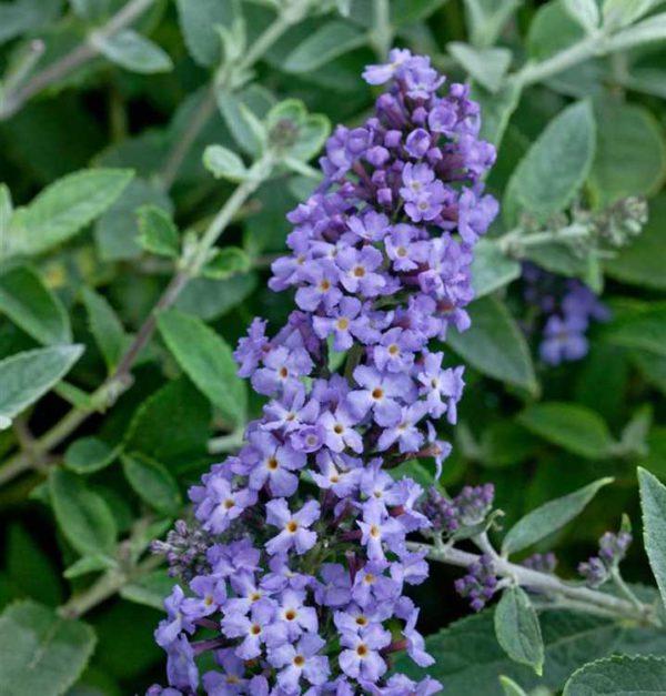 Buddleja-Flutterby-Petite-Blue-Heaven-718×750-proportionalsmallest