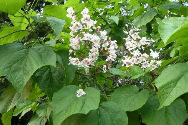 Catalpa Bignonioides : Indian Bean Tree