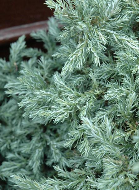 Chamaecyparis dwarf blue
